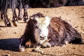 Yak in tibet — Stockfoto