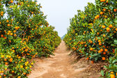 Plant orange trees — Foto de Stock