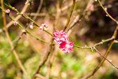 Vietnam Cherry blossom — Stock Photo
