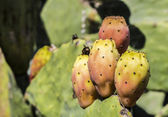 Fig india of Salento — Foto Stock