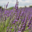 Lavender field in Provence, many bees on flowers — Stok fotoğraf #49019679