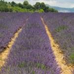 Lavendel Provence - Frankreich — Stockfoto #49019763