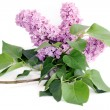 Lilac flower with green leaves on white — Stock Photo
