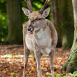 Stock Photo: Persian Fallow Deer
