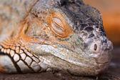 Bright orange Green Iguana — Stockfoto