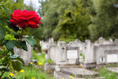 Rose in cemetery — Stock Photo