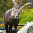 Alpine ibex (Capra ibex) — Stock Photo