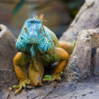 Stock Photo: Green Iguan(Iguaniguana)