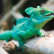 Stock Photo: Plumed basilisk (Basiliscus plumifrons)