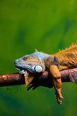 Leguaan ontspannen op een tak — Stockfoto
