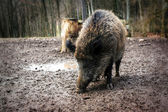 Wild boar (Sus scrofa) close-up — Stok fotoğraf