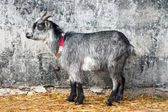 Invisible young grey goat — Stock Photo