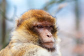 Barbary macaque (Macaca sylvanus) — Foto Stock