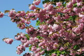 Cherry Blossoms Show Off Beautiful Spring Time Color — Stock Photo