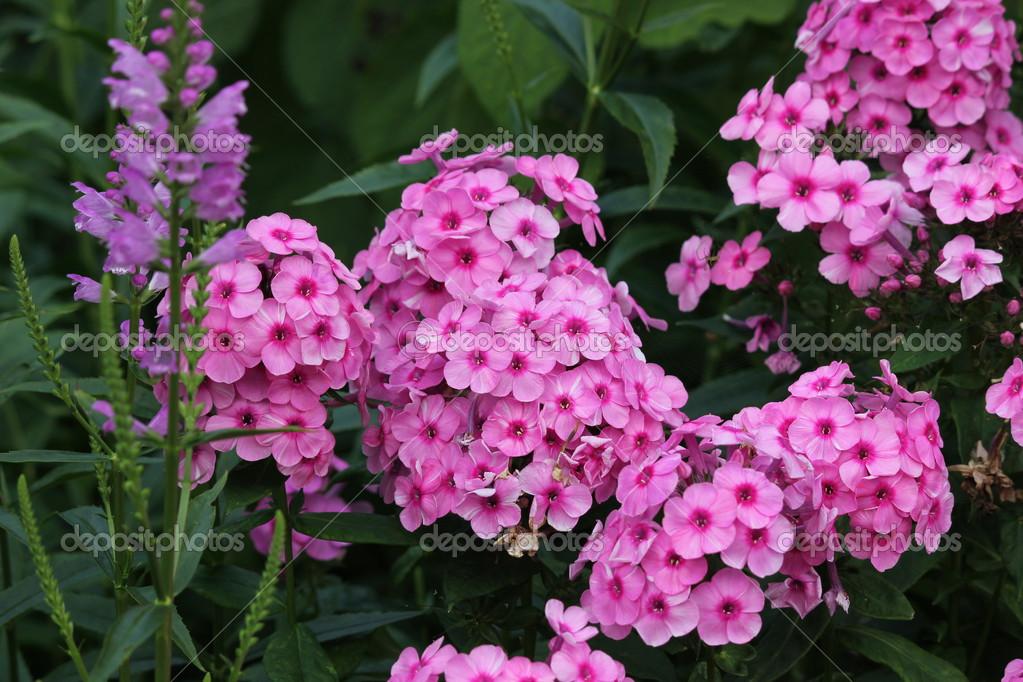 Цветы флоксы показать