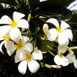 Plumerifrangipani white flower with leaves in background — Stock Photo #40650239