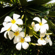 Plumerifrangipani white flower with leaves in background — Stock Photo #40650435