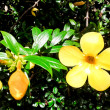 Allamanda beautiful yellow flower with leaves in background — Stock Photo