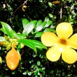 Allamanda beautiful yellow flower with leaves in background — Stock Photo #40650721