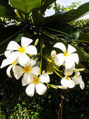 Plumeria frangipani white flower with leaves in background — Stock Photo