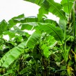 Bananplantation garden is moist and raindrop — Stock Photo #40890101