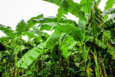 Banana plantation garden is moist and raindrop — Stock Photo