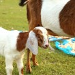 Stock Photo: Portrait of young baby and mom goat relax on green meadow, tha
