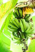 Kilka bananów na bananowca — Zdjęcie stockowe