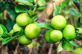 Fresh green lemon on nature plant tree — Foto Stock