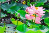 Beautiful lotus blossoms or water lily flowers nature background — Stock Photo