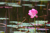 Beautiful pink lotus flower on water background — Stock Photo