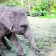Cute young elephant in koh samui island, , namuang waterfall tha — Stock Photo #46997283