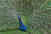 Peacock in Castleville — Stock Photo