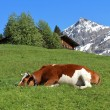 Sleeping cow — Stock Photo