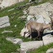 Stock Photo: Alpine ibex baby grazing