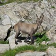 Stock Photo: Cute alpine ibex baby