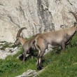 Two alpine ibex in the Alps — Stock Photo #30433443