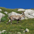 Stock Photo: Little alpine ibex walking on a meadow with wildflowers