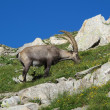 Alpine ibex grazing on a meadow full of wildflowers — Stock Photo
