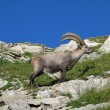Standing alpine ibex — Stock Photo