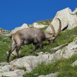 Grazing alpine ibex in the Alps — Stock Photo