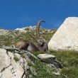 Lazy alpine ibex — Stock Photo