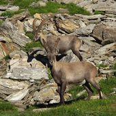 Two alpine ibex — Stock Photo