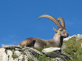Resting alpine ibex — Stock Photo