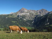 Grazing Simmental Cows and mountain — Stock Photo