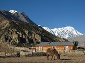 Grazing Mule In Manang, Tilicho Peak — Stock Photo
