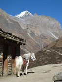 White Horse In The Annapurna Consevation Area, Nepal — Stock Photo