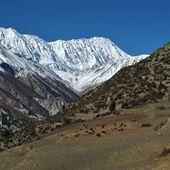 Tilicho Peak and yak herd — Stock Photo