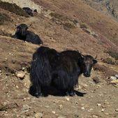 Two black yaks — Stock Photo