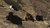 Herd of yaks resting — Stock Photo